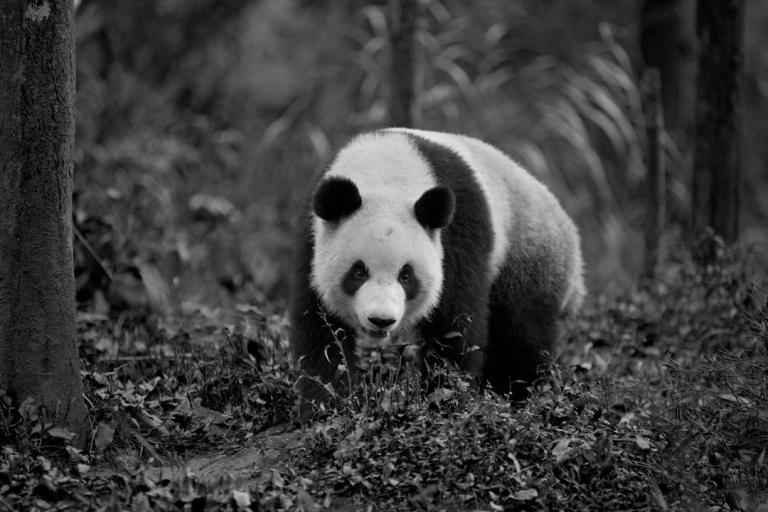 panda_bw